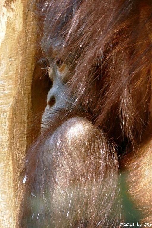 Borneo-Orang-Utan SURYA, geb. 28.6.13