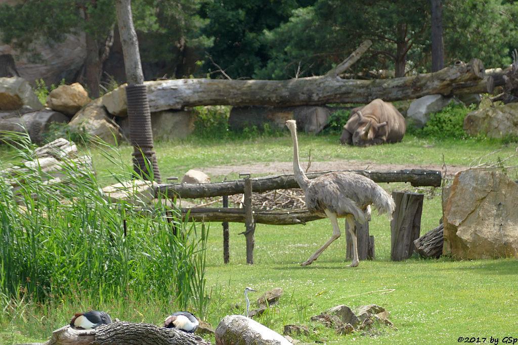 Südafrikanischer Kronenkranich, Graureiher, Nordafr. Strauß (Nordafr.Rothalsstrauß), Spitzmaulnashorn (Spitzlippennashorn, Doppelnashorn)