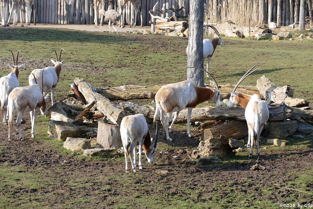 Säbelantilope , Nordafrikanischer Strauß (Nordafrikanischer Rothalsstrauß)