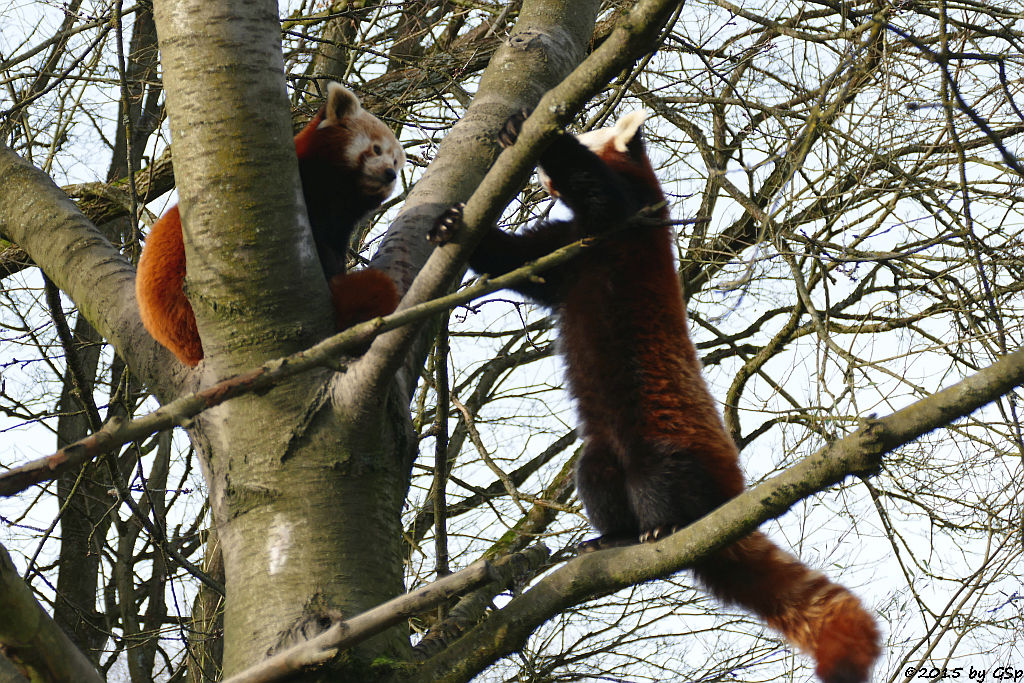 Westlicher Kleiner Panda (Westlicher Katzenbär)