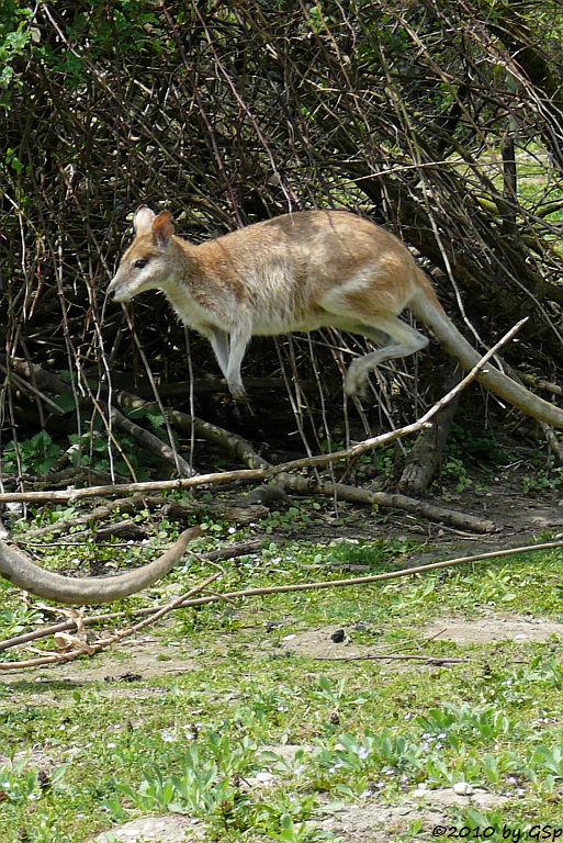 Flinkwallaby