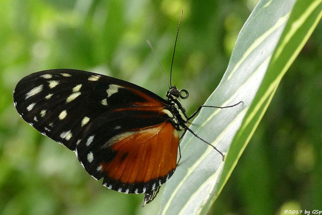 Tiger-Passionsblumenfalter