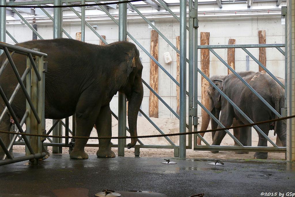 Asiatischer Elefant JENNY und RANI