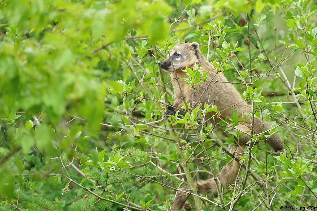 Roter Nasenbär (Gewöhnlicher Nasenbär, Südamerikanischer Nasenbär)
