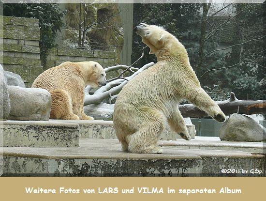 Eisbär LARS (Vater von Knut) und VILMA (aus Rostock)