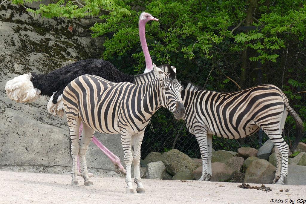 Chapman-Zebra,  Nordafrikanischer Stauß (Rothalsstrauß)