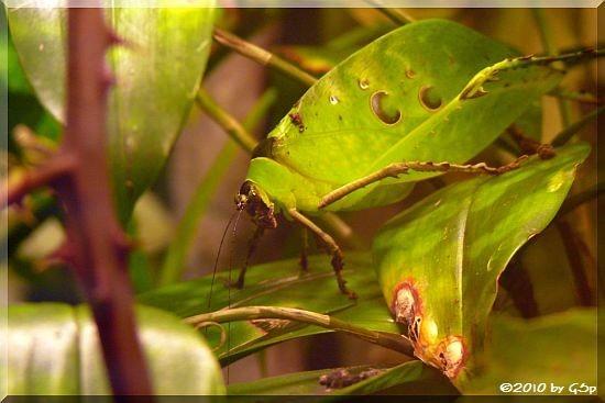 Riesen-Blattheuschrecke