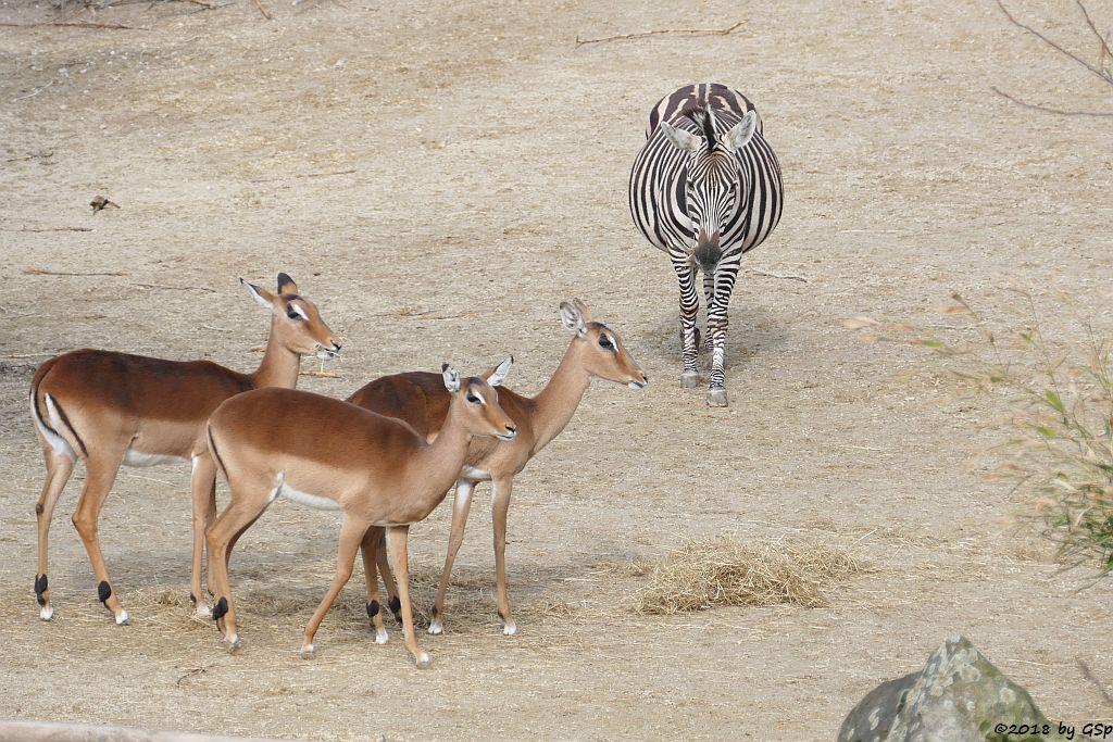Gewöhnliche Impala (Schwarzfersenantilope), Elenantilope, Böhm-Steppenzebra (Grant-Zebra)
