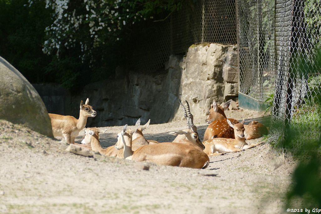 Hirschziegenantilope, Vietnam-Sikahirsch