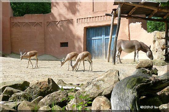 Dorkasgazelle, Somali-Wildesel