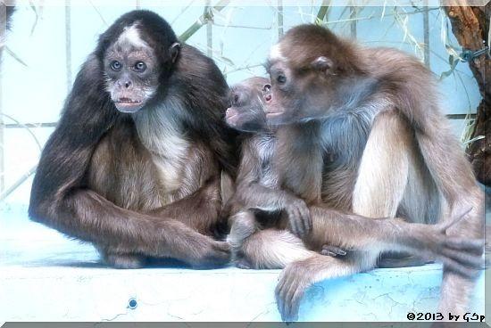 Goldstirnklammeraffe ZAC und OCANA mit ihrem Baby