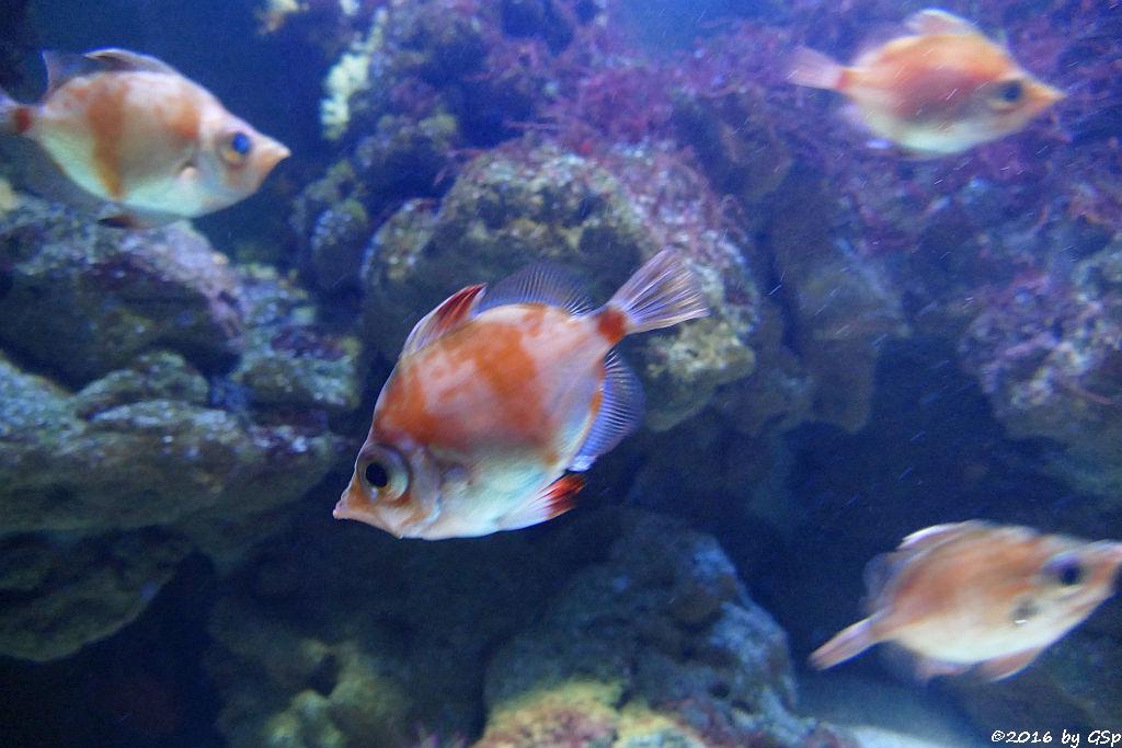 Eberfisch (Ziegenfisch)