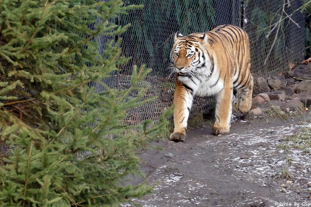 Sibirische Tigerin MARUSCHKA