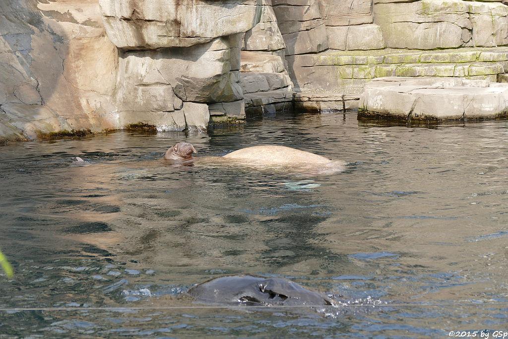 Südamerikanischer Seebär,  Walross LOKI, geb. am 5.6.15 mit  Mama POLOSA
