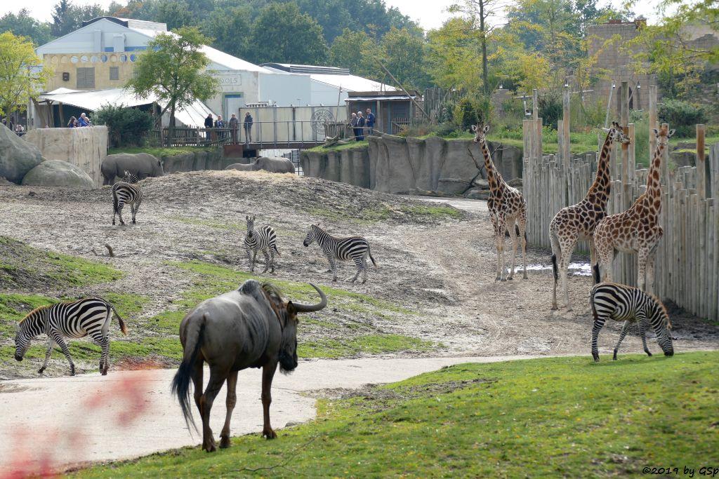 Böhm-Steppenzebra (Grant-Zebra), Südliches Breitmaulnashorn, Rothschildgiraffe (Uganda-Giraffe, Baringo-Giraffe)