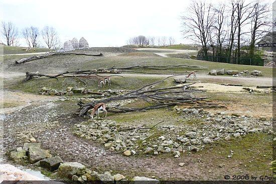 Springbock in der Grassavanne