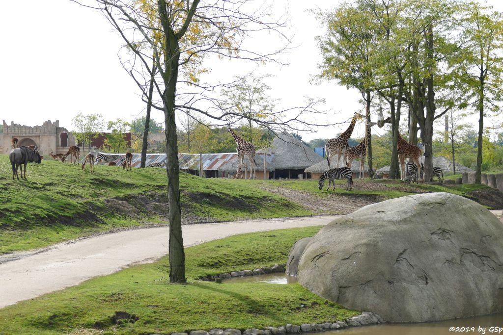 Südliches Streifengnu (Blaues Gnu), Gewöhnliche Impala (Schwarzfersenantilope), Böhm-Steppenzebra (Grant-Zebra), Rothschildgiraffe (Uganda-Giraffe, Baringo-Giraffe)