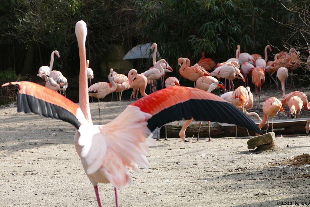 Chileflamingo (Chilenischer Flamingo), Rosaflamingo (Europäischer Flamingo)