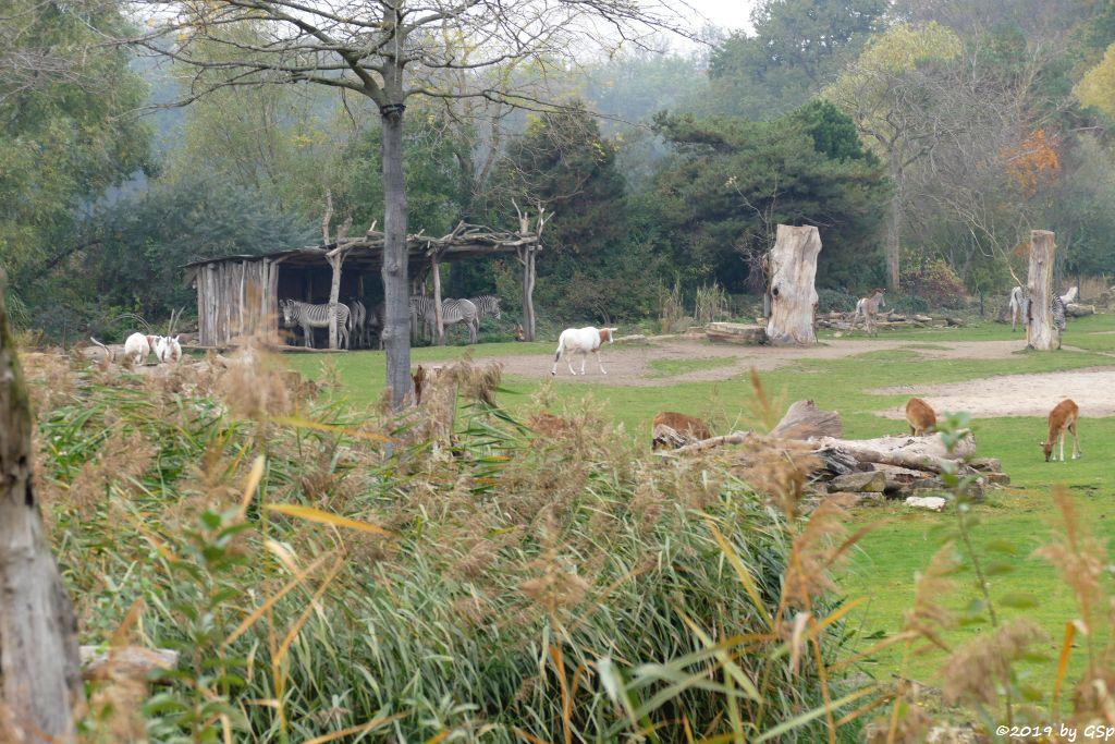 Säbelantilope, Grévy-Zebra, Weißnacken-Moorantilope (Mrs. Grays Wasserbock)