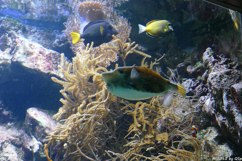 Gelber Kofferfisch, Gelbschwanz-Segeldoktor, Weißwangendoktor