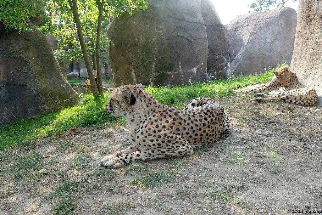 Südafrikanischer Gepard