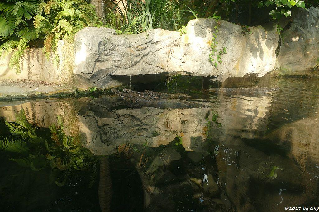 Sunda-Gavial (Falscher Gavial)