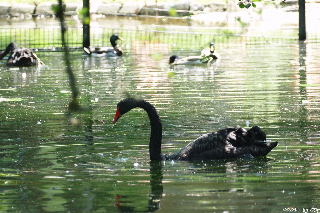 Schwarzer Schwan (Trauerschwan)