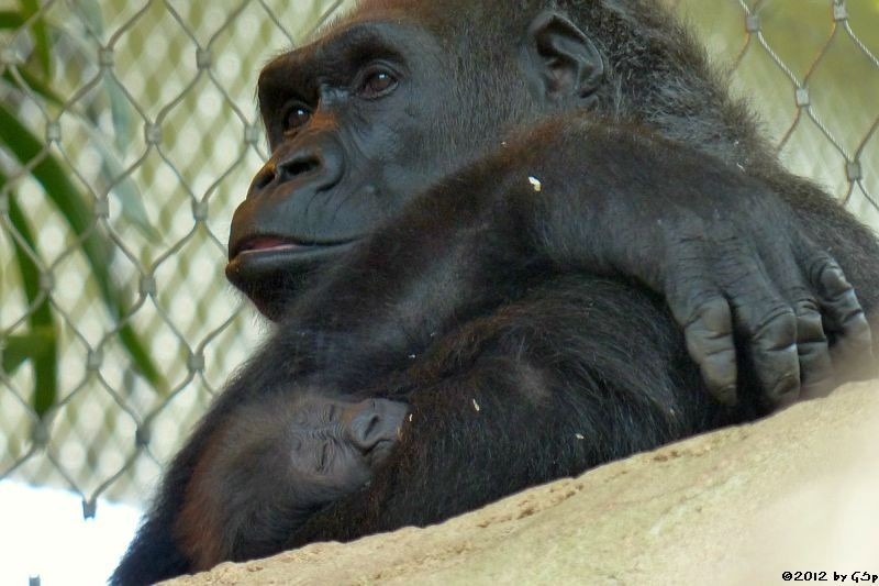 Flachlandgorilla REBECCA mit Tochter SAWA 23.10.12 -15.11.13 - 107 Fotos