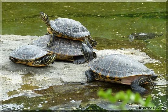 Gelbwangen-Schmuckschildkröte