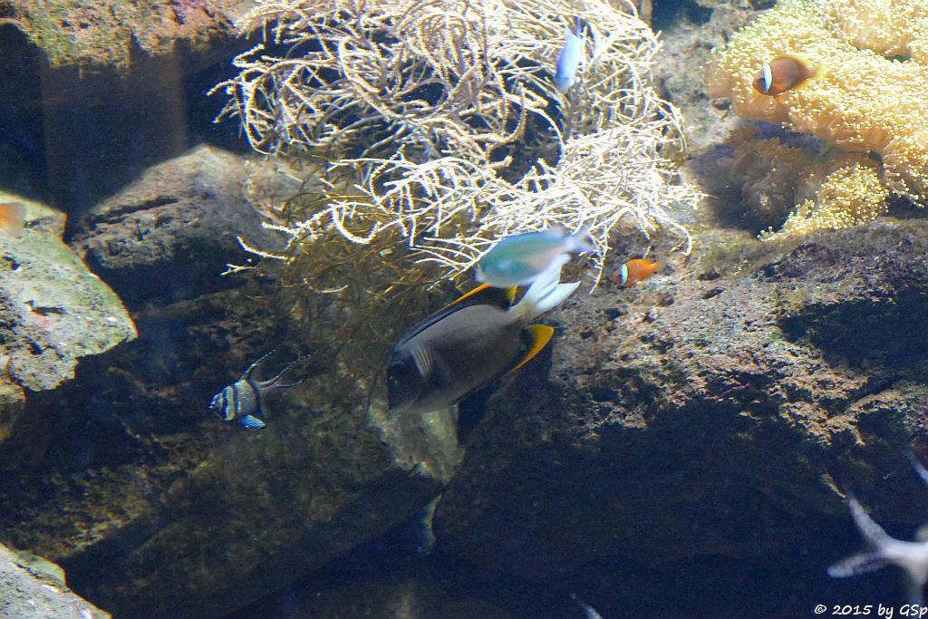 Banggai Kardinalfisch, Tominis Borstenzahndoktor, Blaugrünes Schwalbenschwänzchen, Schwarzflossen-Anemone