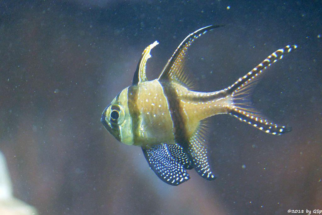 Banggai-Kardinalbarsch (Molukken-Kardinalfisch
