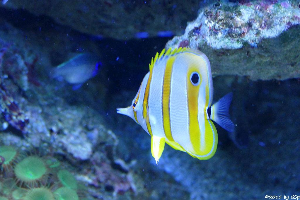 Gewöhnlicher Pinzettfisch
