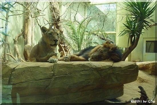 Indischer Löwe  KIRI und KASCHI