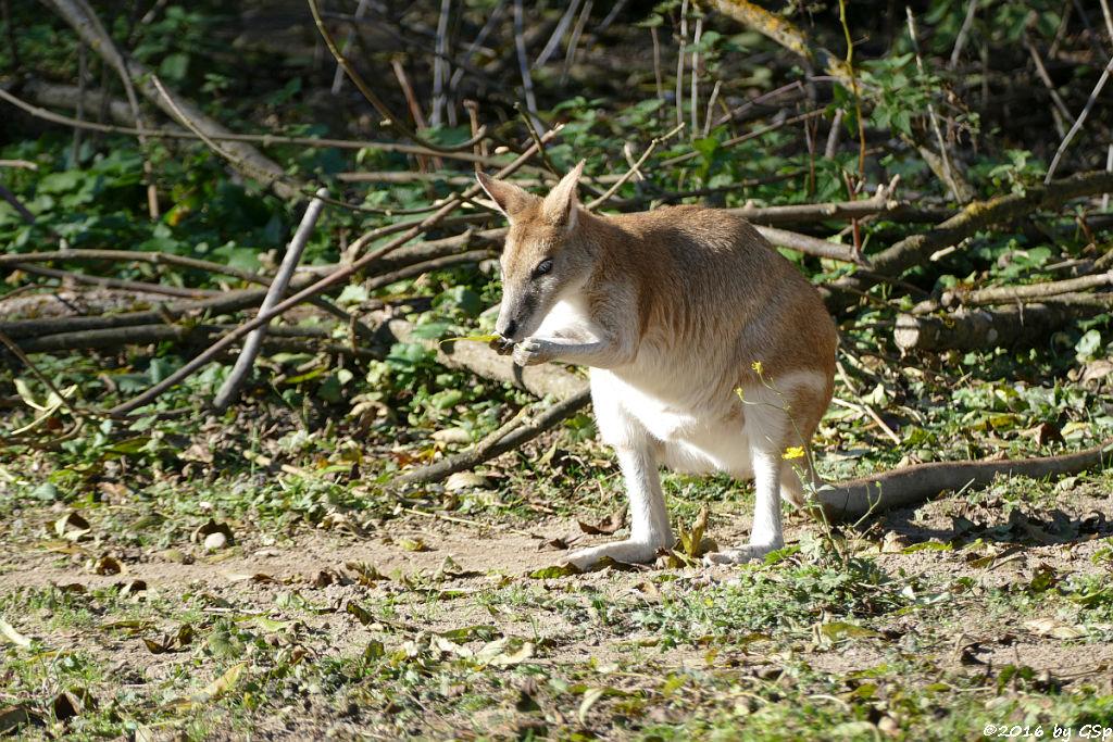 Flinkwallaby (Sandwallaby)