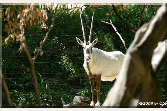 Arabische Oryx