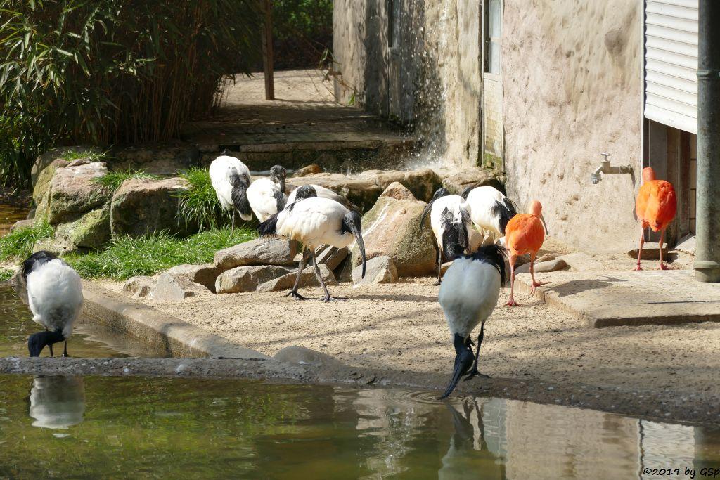 Heiliger Ibis, Roter Sichler (Scharlachibis, Rotibis)