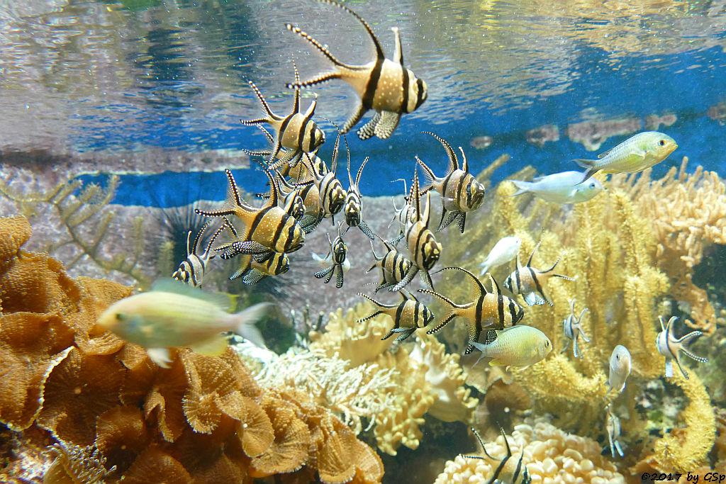 Banggai-Kardinalbarsch (Molukken-Kardinalfisch, Zebra-Kardinalbarsch)