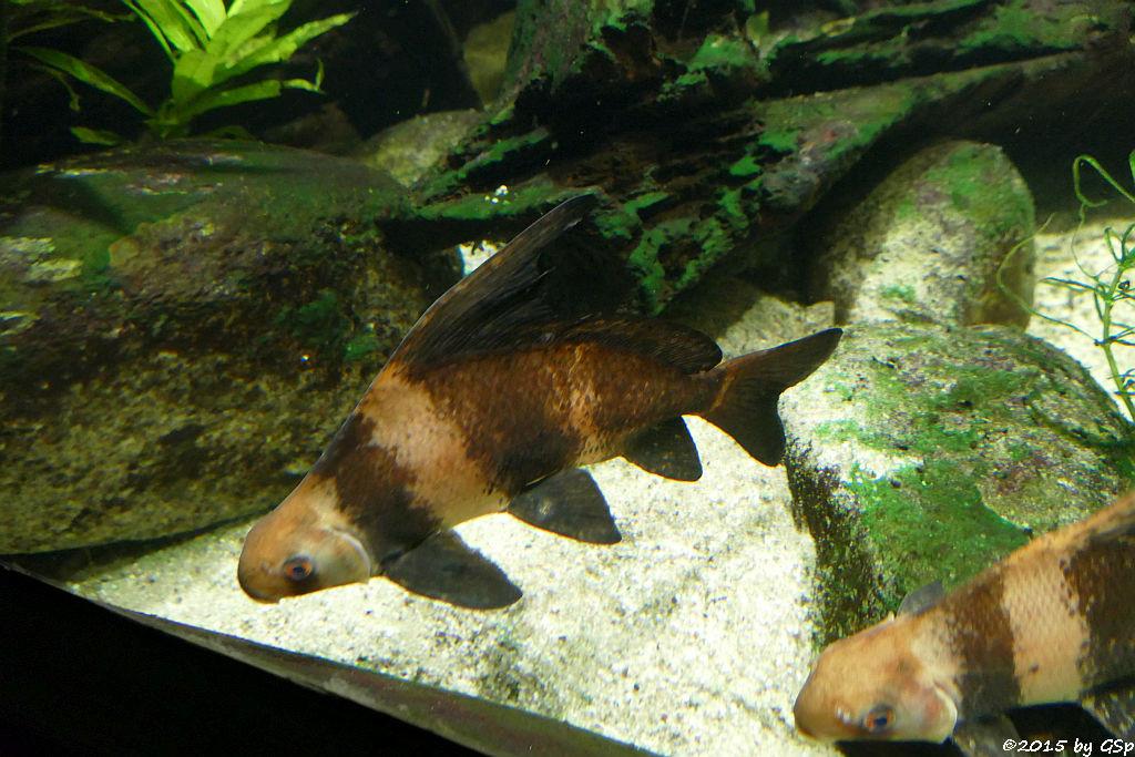 Hochflossensauger (Steilflossensauger, Wimpelkarpfen)