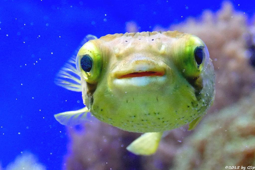 Braunflecken- (Ballon-)kugelfisch