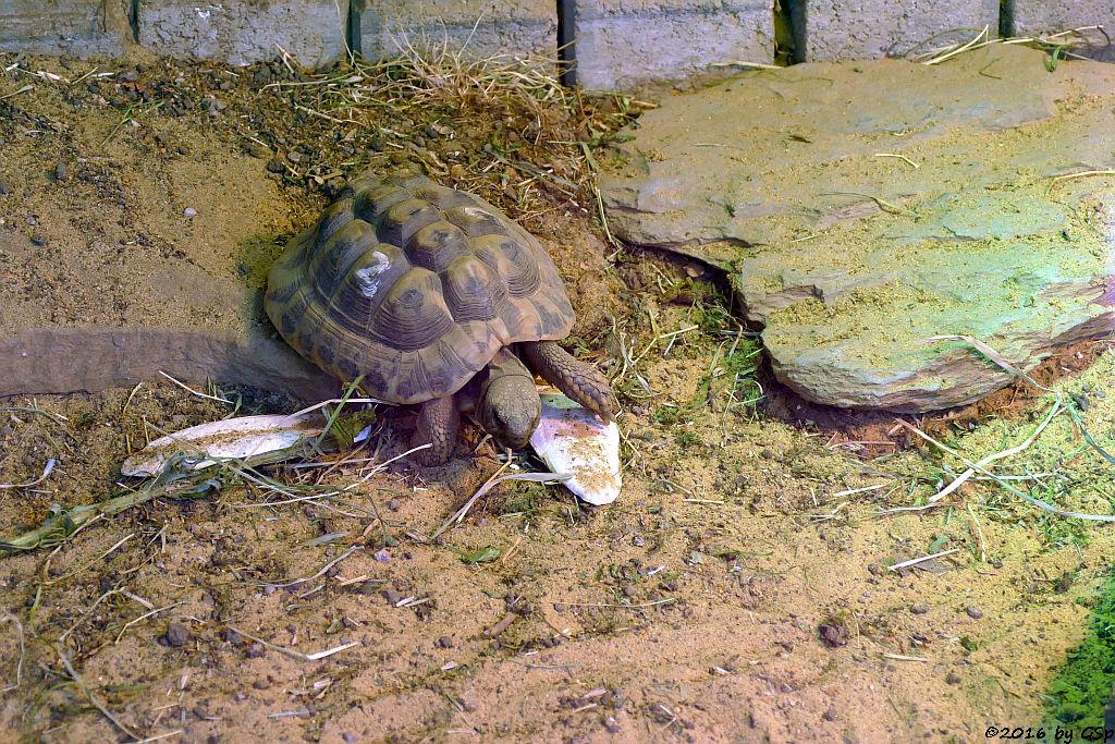 Griechische Landschldkröte