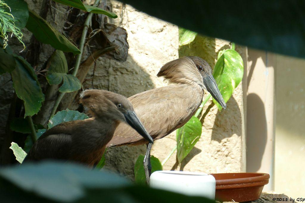 Hammerkopf (Schattenvogel)