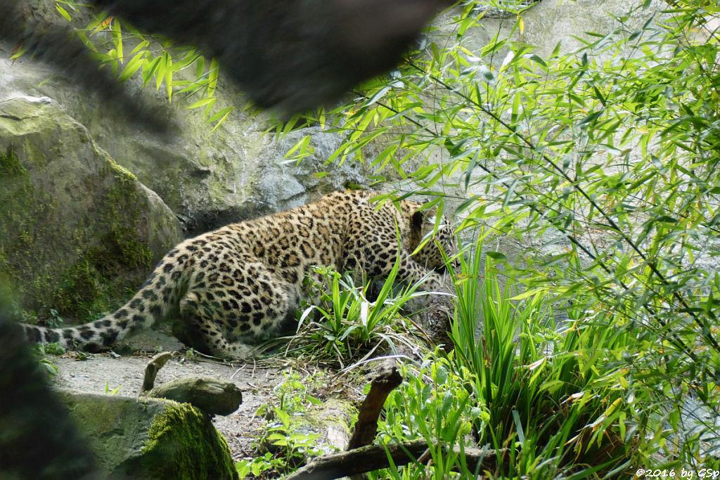 Nordpersischer Leopard (Afghanischer Leopard), geb. am 21.9.15 (7 Mon. alt)