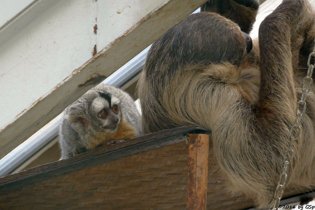 Bolivien-Nachtaffe, Zweifingerfaultier (Unau)