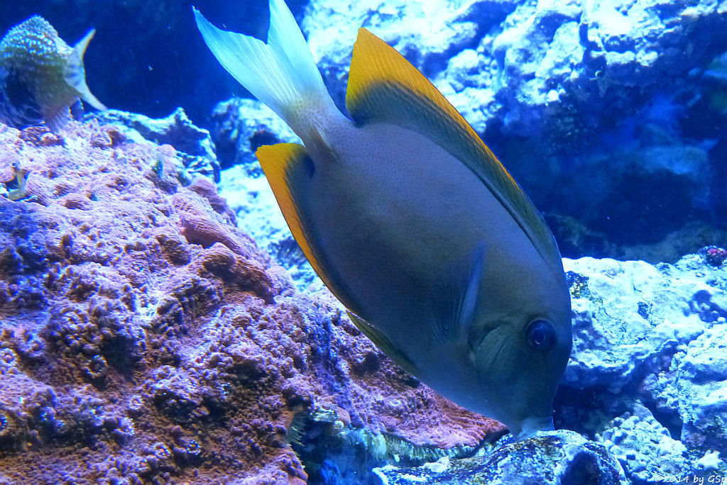 Tomini-Borstenzahndoktorfisch