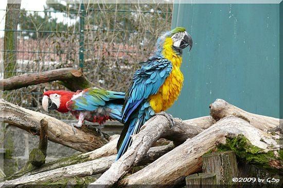 Grünflügelara und Gelbbrustara