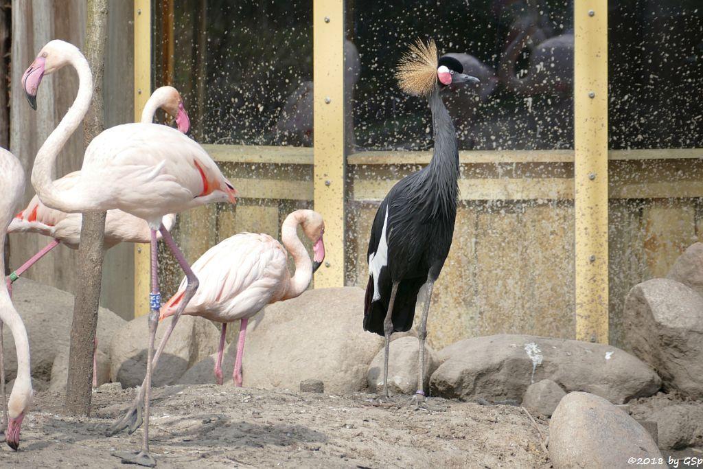 Rosaflamingo (Europäischer Flamingo), Westafrikanischer Kronenkranich (Schwarzhals-Pfauenkranich)