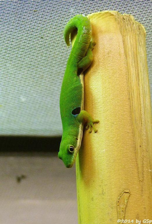 Pfauenaugen-Taggecko