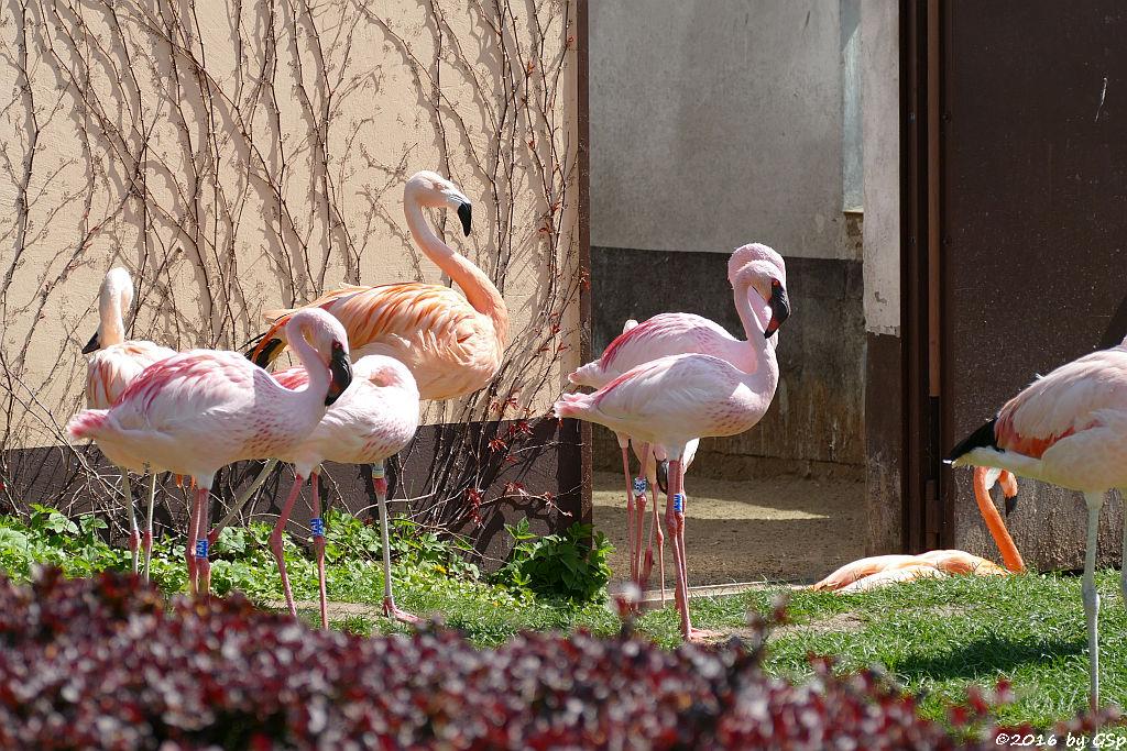 Zwergflamingo, Chileflamingo, Kubaflamingo (Karibischer Flamingo, Roter Flamingo)
