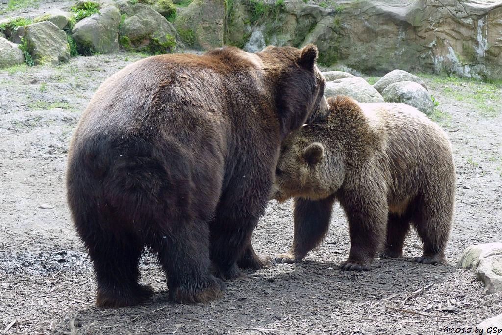Kodiakbär, Braunbär