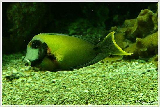 Orangeflecken-Doktorfisch